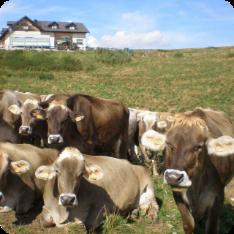 archivio-apt-valsugana---adotta-una-mucca---mucche